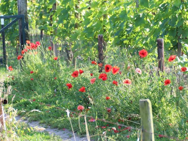 Coquelicot : semis, entretien et variétés