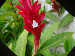Gingembre rouge, Alpinia purpurata