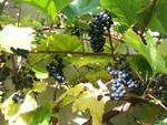 Vigne, Vitis vinifera