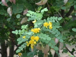 Colutea arborescens, baguenaudier