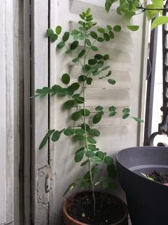 Colutea arborescens : jeune plant issu de semis