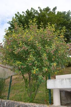 Colutea arborescens : fleurs et fruits