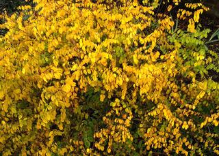Indigofera kirilowii en automne