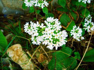 Pachyphragma macrophyllum - fleurs