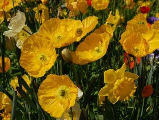 Pavot d'Islande, Papaver nudicaule : semis, culture, entretien