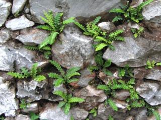 Plante de mur : Asplenium ceterach