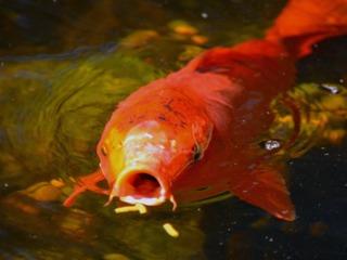 Nourriture distribuée à un poisson de bassin