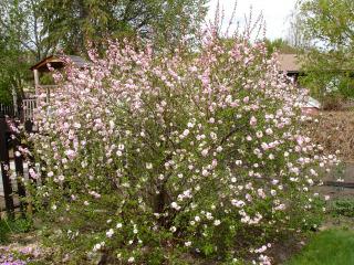 Prunus triloba, amandier de Chine