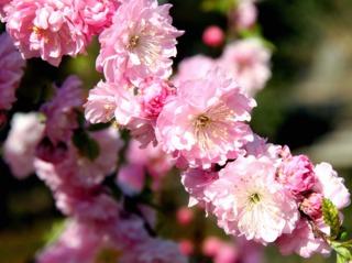 Prunus triloba : fleurs