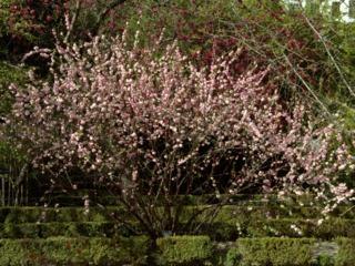 Prunus triloba 'Multiplex'