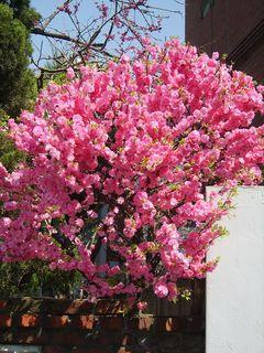 Prunus triloba var truncata