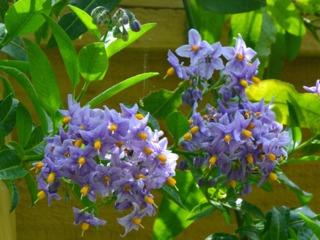 Solanum crispum : plantation, culture, variétés