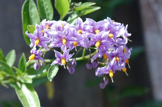 Solanum crispum, fleurs
