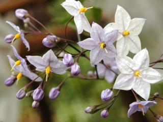 Solanum jasminoïdes : fleurs