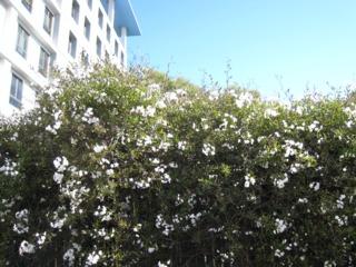 Solanum jasminoides, morelle faux-jasmin