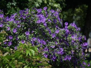 Lycianthes rantonnetii (solanum)