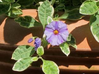 Solanum rantonnetii 'Lynn's Variegated'