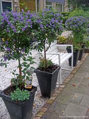 Solanum rantonnetii sur tige
