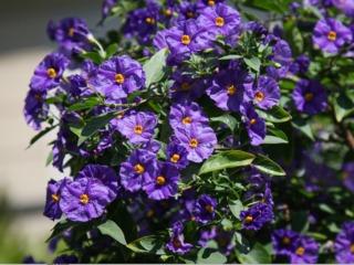 Solanum rantonnetii, arbre à gentiane : plantation, culture, taille