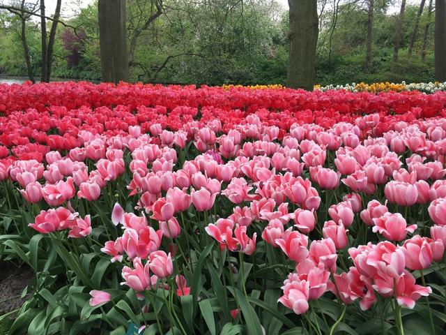 Dégradé de tulipes