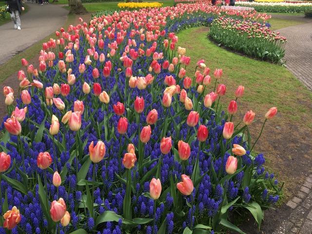 Tulipes bicolores et muscaris