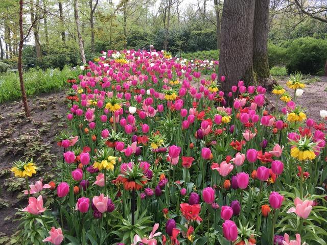 Tulipes variées et fritillaire impériale (Visite du Keukenhof, Pays-Bas, mai 2017)
