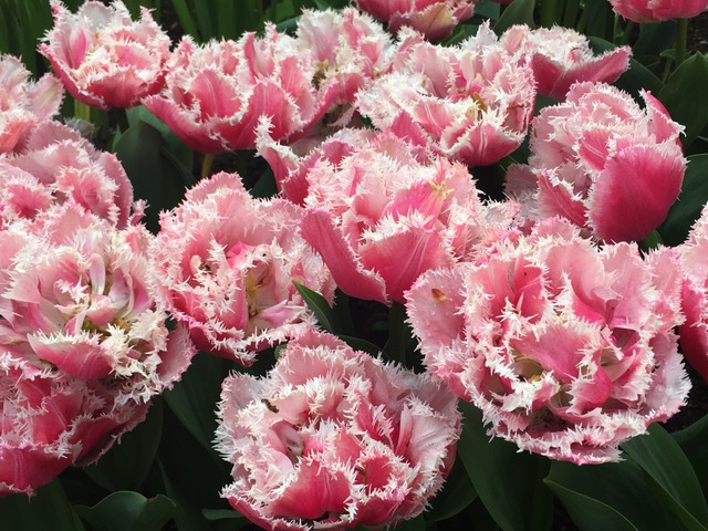 Tulipes vanille fraise