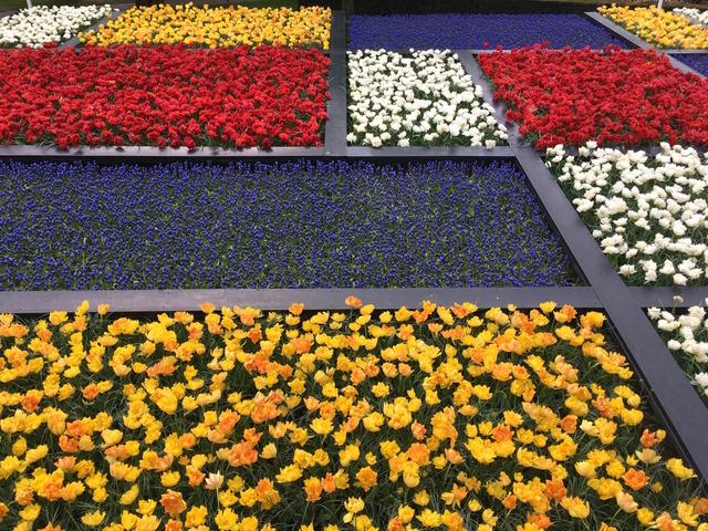 Mosaïculture avec des tulipes et des muscaris