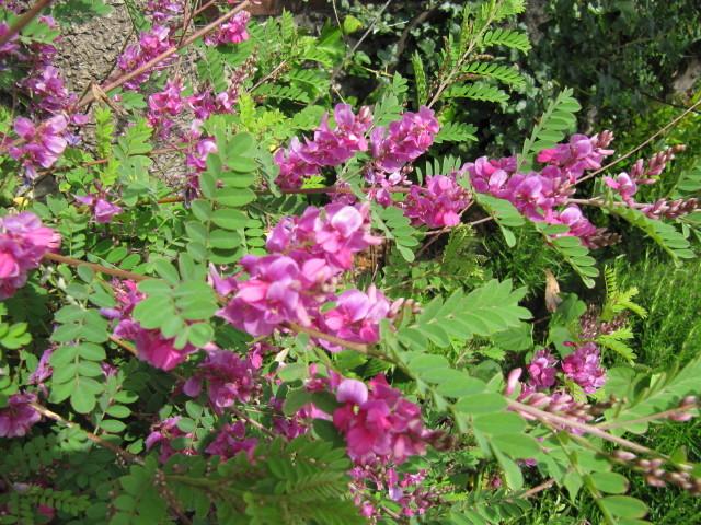 Indigotier, indigofera : plantation, culture, espèces