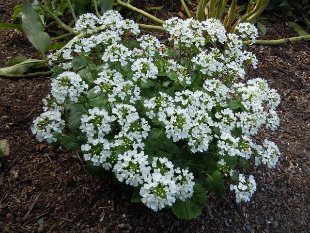 Pachyphragma macrophyllum, thlaspi : plantation, culture, entretien