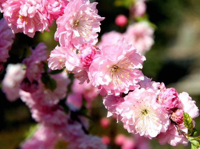 Amandier de Chine, Prunus triloba : plantation, culture, taille