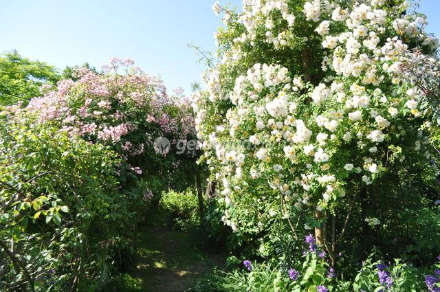 les rosiers pleureurs vari t s utilisation au jardin. Black Bedroom Furniture Sets. Home Design Ideas