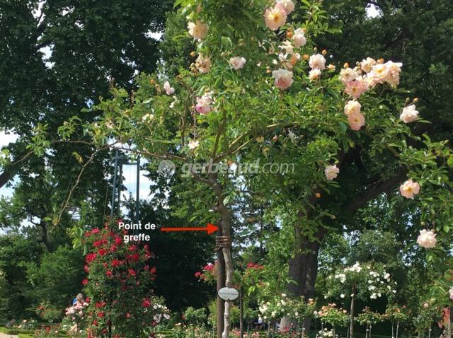 Les rosiers pleureurs : variétés, utilisation au jardin, taille