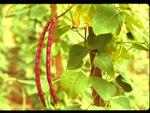 Dolique : semis, culture et récolte