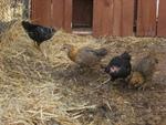 Comment utiliser les fientes de poules ?