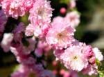 Amandier de Chine, Prunus triloba