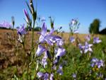 Raiponce : semis, culture et récolte