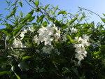 Solanum jasminoïdes, morelle faux-jasmin