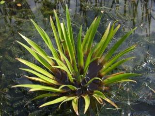 Stratiotes aloides - Aloès d'eau