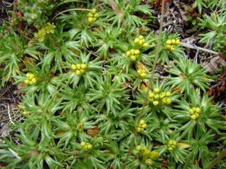 Azorella trifurcata : floraison