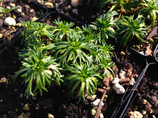 Azorella trifurcata 'Nana' - Jeune plant en godet