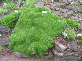 Azorella trifurcata en rocaille