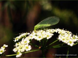 Chrysope butinant une fleur d'ombellifère