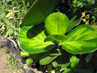 Clusia rosea, variété panachée