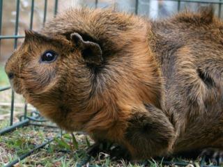 Cochon d'Inde Abyssinien ou à rosettes