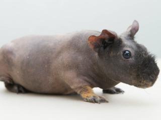 Cochon d'Inde Skinny
