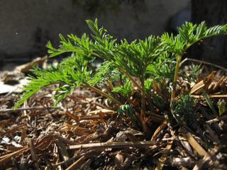 Dicentra eximia : émergence des feuilles en avril