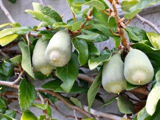 Ficus pumila : fruits