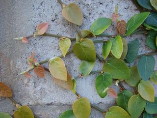Ficus pumila : tiges munies de crampons