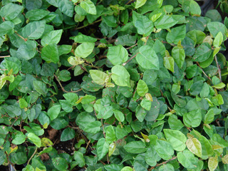 Ficus pumila, figuier rampant : culture, entretien